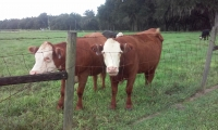 <h5>Cows helping me work on a gate in Hawthorne</h5>
